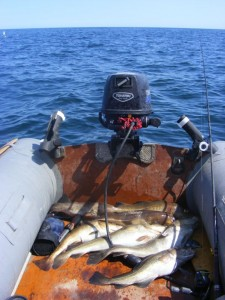 Summer codling taken close inshore from my inflatable, fishing near Cove, Aberdeenshire