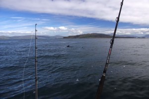 Several basking sharks spotted within a few miles of Treshnish and Caliach Points