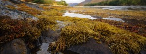 Seaweed on the shoreline of Loch Leven