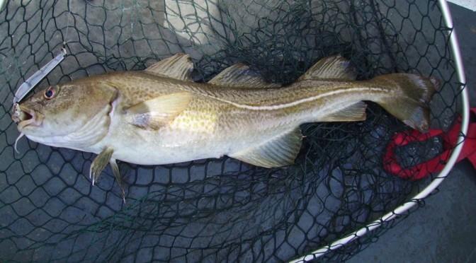 A nice cod from Dunbar