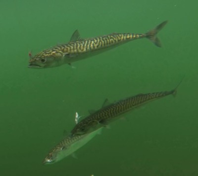 Underwater shot of a group of mackerel taken on mylar lures