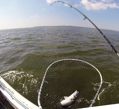 Safely in the Net - and it's a nice Galloway Bass for Dinner