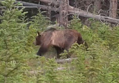 The only grizzly bear we saw - captured on a camera phone