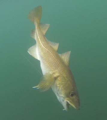 A small codling tries to escape after swallowing a large artificial shad completely