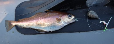 Mini sabikis and mini species - a poorcod takes a sliver of mackerel