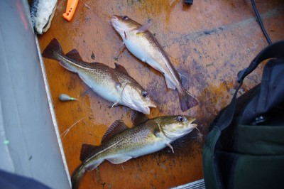 Threesome of small codling