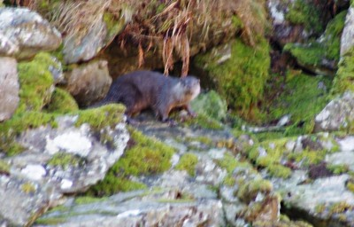 Rather blurry image of an otter