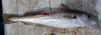 A well-chomped whiting from Barrs
