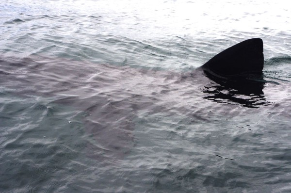 Basking shark off Treshnish Point, Isle of Mull