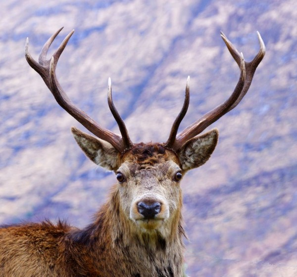 A highland red deer stag