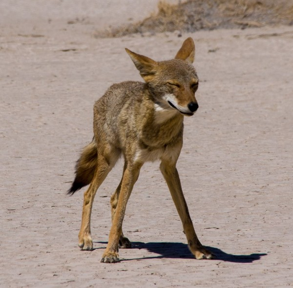 Hot and hungry coyote, Death Valley NP