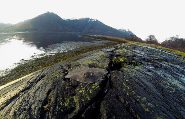 Winter thornback from Loch Leven