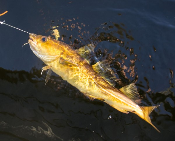 Golden coloured codling from Loch Etive