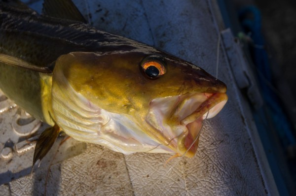 Small golden coloured cod