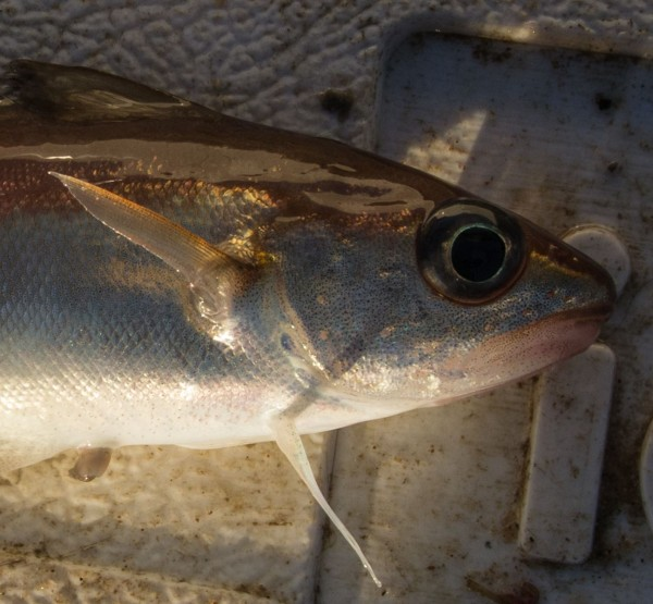 Pretty little thing - poorcod head and shoulders