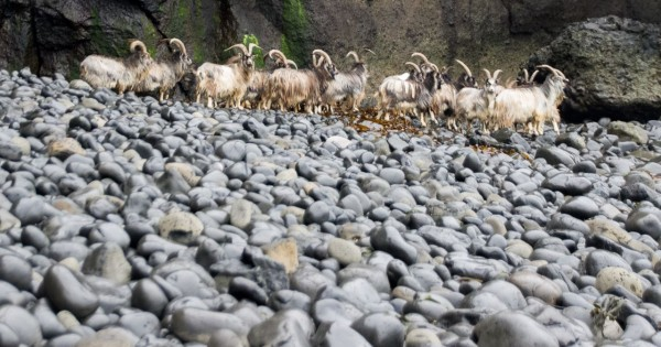 Herd of feral goats on the beach near the fossil tree, Ardmeanach
