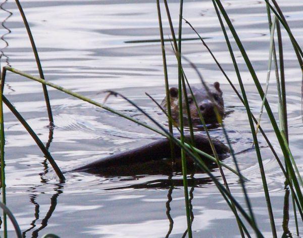 Otter - Myrton Loch, Galloway