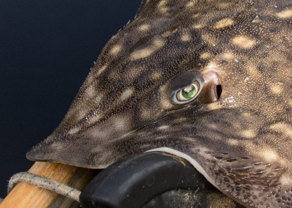 A looker of a ray from Loch Leven