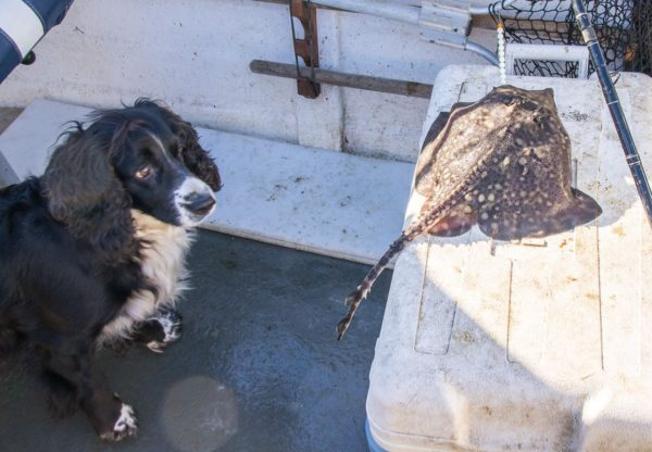 My cocker spaniel Bonnie looks a bit puzzled by this small thornback ray