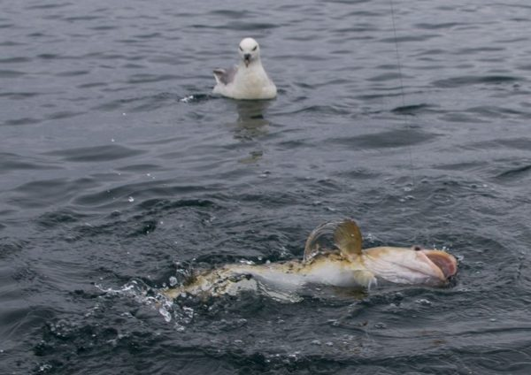 A gull with eyes bigger than its stomach measures up the prospects of swallowing a cod bigger than it is