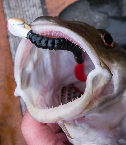 Enough teeth to make you think twice! A codling opens its mouth to show a set of small needle like teeth