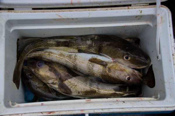 A boxful of inshore codling from Dunbar