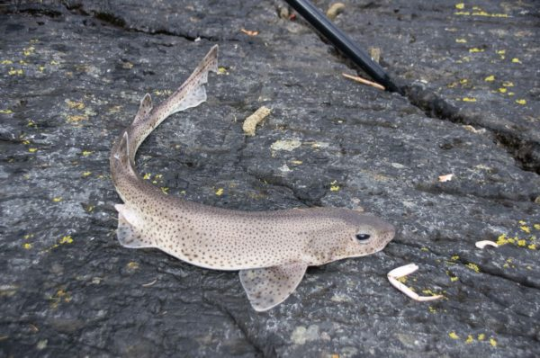 Lesser spotted dogfish are one of the most common catches in Loch Leven