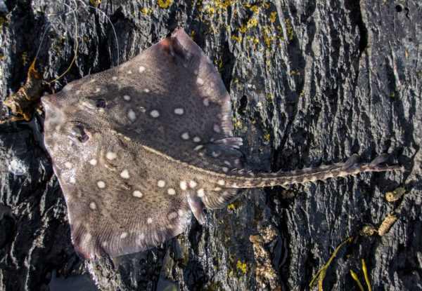 A small shore caught thornback ray
