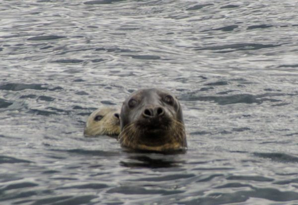 Mum and baby seal check me out carefully at Resipond