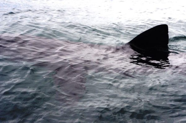 A basking shark off the NW coast of Mull