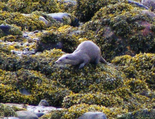 An otter working the shoreline on Loch Sunart