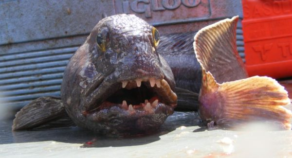 Ugly but impressive - a catfish (or wolf fish) from Dunbar. Their massive teeth and powerful jaws will crush mussel shells without trouble - and your fingers too