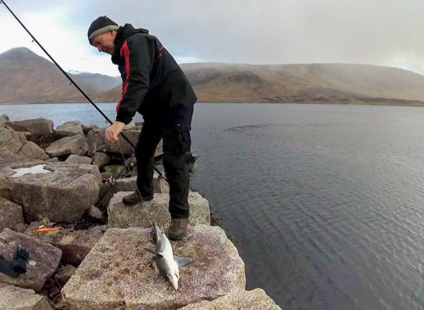 A nice sized spurdog fills the granite block by the side of the old piers at Barrs, Loch Etive