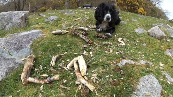 Bonnie hard at work with a large pile of half chewed sticks