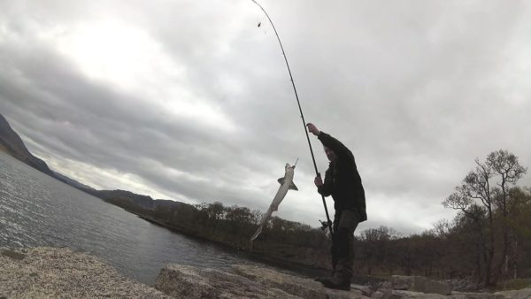 A nice shore-caught spurdog