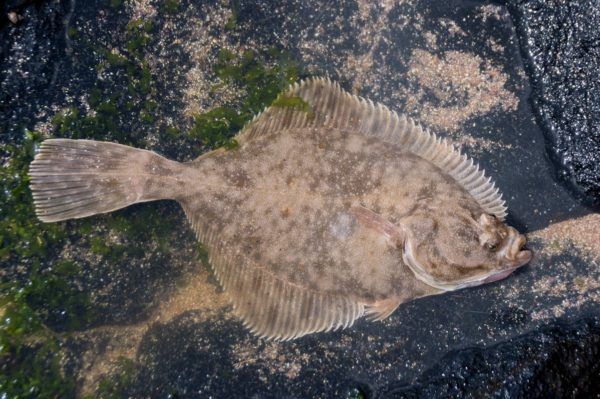 A flounder caught to the north of Sandwood Bay