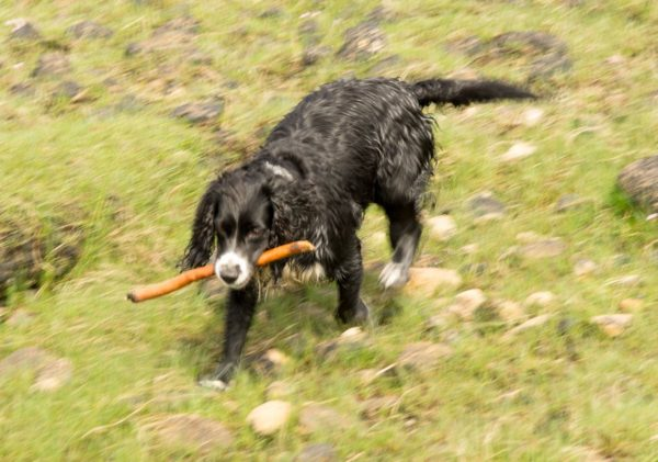 A lethal combination - wet dog with stick