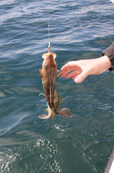 A cod with two tails, or two codling - it's hard to tell in this shot