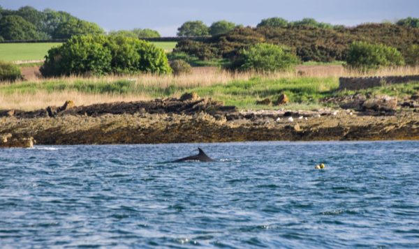 One of a small pod of dolphins working close inshore near St Andrews