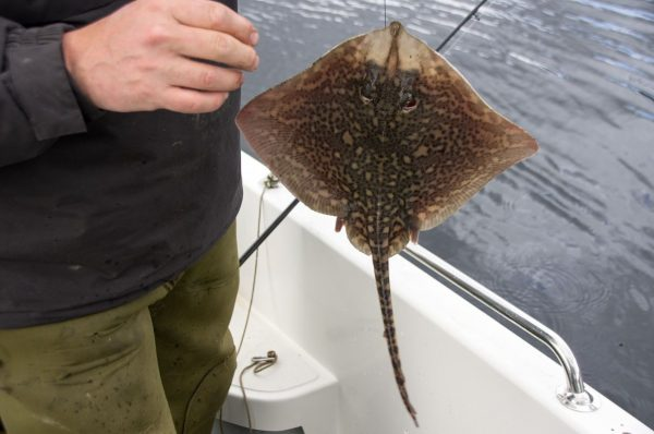 Getting closer to postage stamp size - a small Leven ray