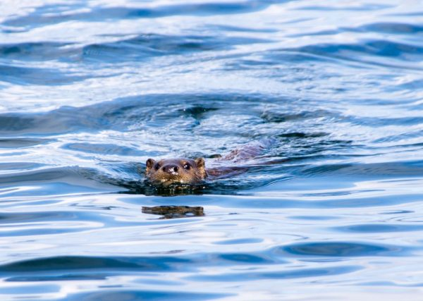 An otter keeps an eye on me - just south of Jura