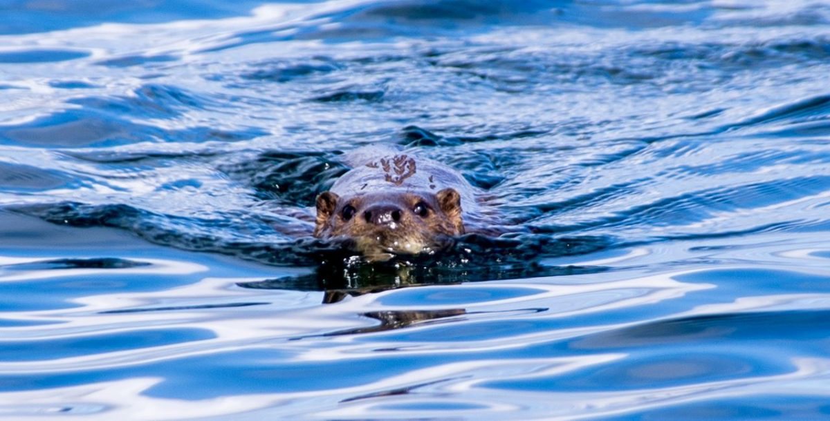Sea otter in the Sound of Islay, off Jura
