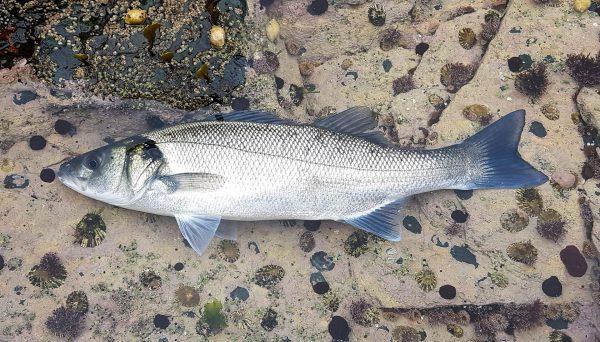 A shore caught bass from Skye