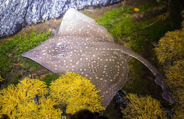 18lb Common Skate caught from the shore