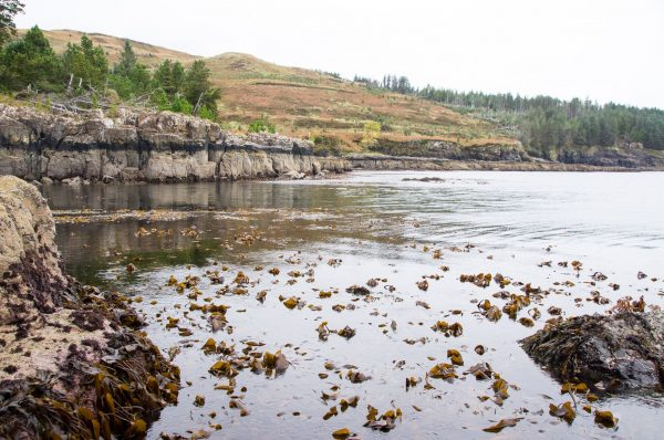 Low water exposes a thick forest of kelp on Loch Bracadale, Skye