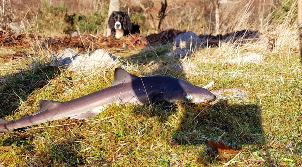 Typical small spurdog just about to be returned. Bonnie the spaniel is looking on in rather bored fashion.