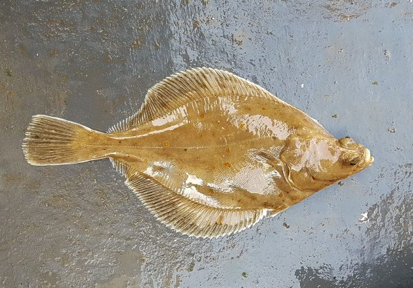 The one and only plaice of the day, and my first of the year
