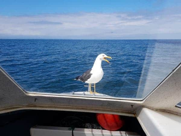 A persistent black backed gull demands feeding, perched on the bow of Ian's Raider 18
