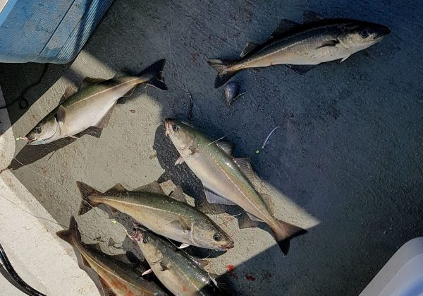 Half a dozen coalfish come aboard at once when fishing the Torran Rocks, off Mull