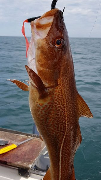 Nicely coloured inshore codling - these fish take on the colour of the kelp beds and range from orange to deep red in colour